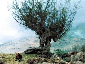 whomping-willow-poa