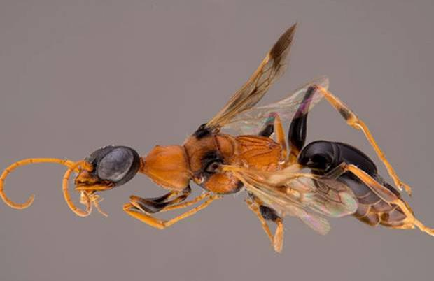 ampulex dementor, a wasp with an orange-brown body and black coloring on its eyes, abdomen, wings, and legs