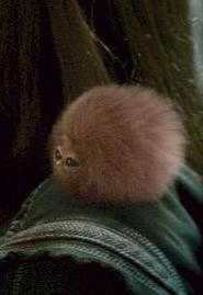 pygmy-puff-arnold