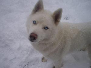 white-husky