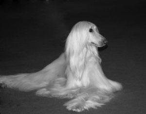 White-Afghan-Hound