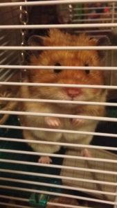 Lizzie's hamster Crookshanks 2