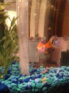 Amy's fish Weasley