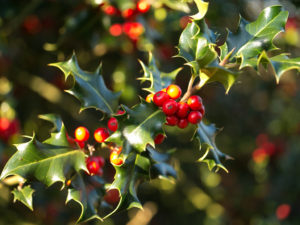 holly-branch