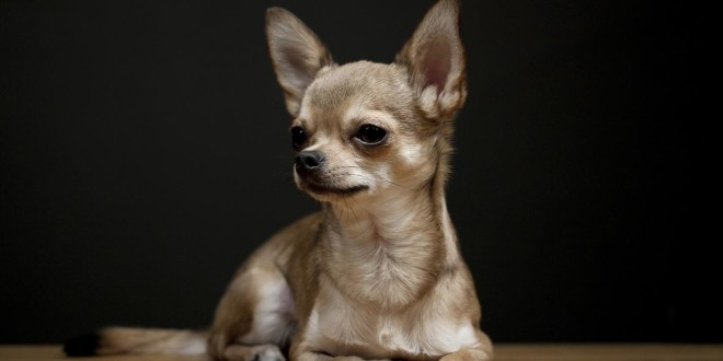 a Chihuahua laying down with a black background