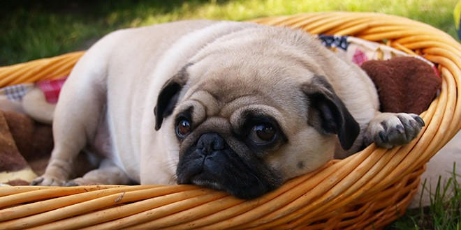 a Pug laying down in a basket