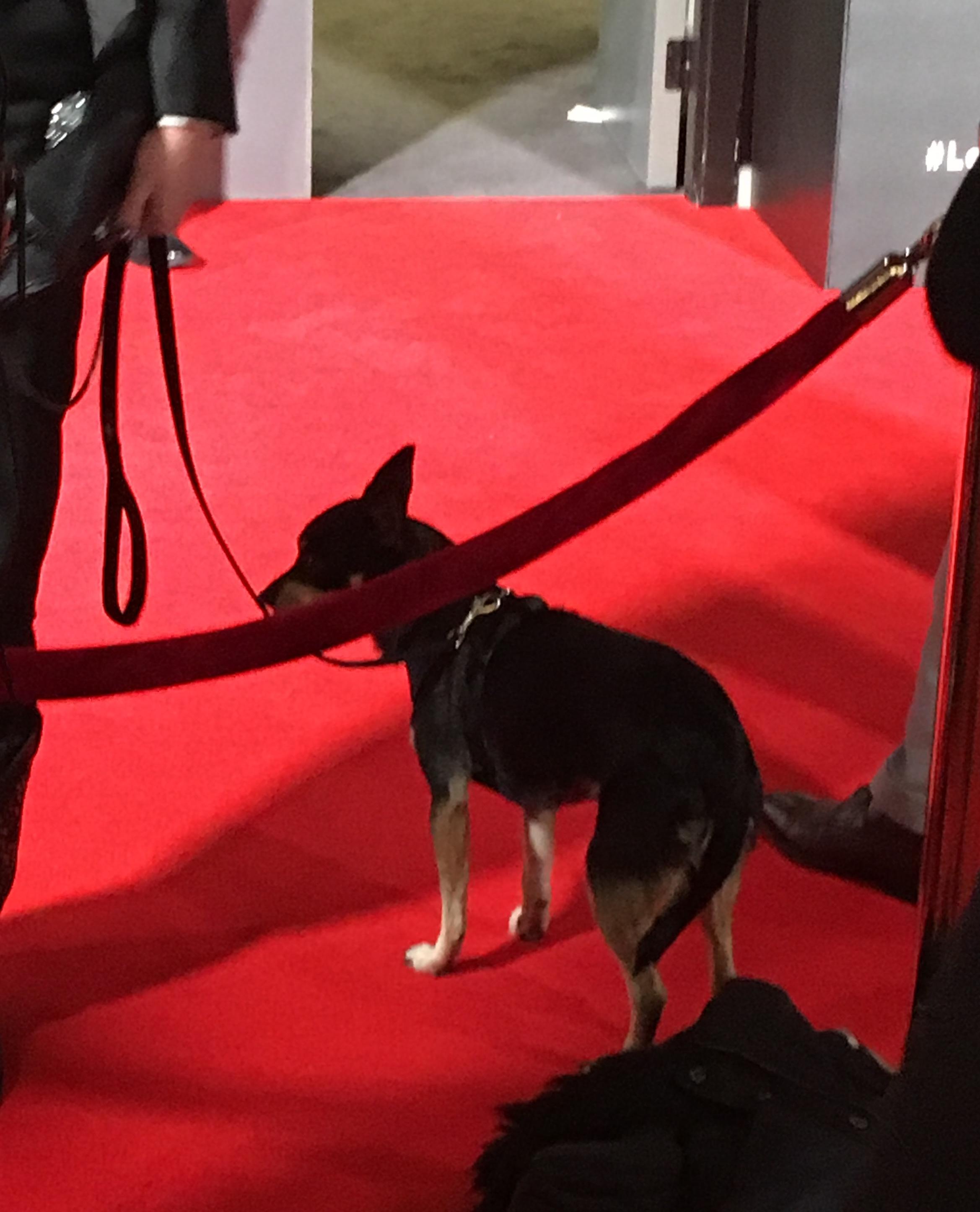 "Natalia Tena's dog Mimosa on the red carpet at the ""Origin"" series premiere"