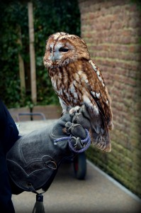 Tawny Owl at Feathers and Flight, WB Studio Tour, 2014