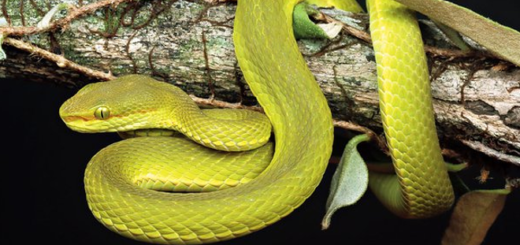 The pit viper T. salazar is pictured.