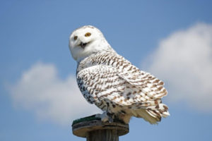 The owl who plays Hedwig sits on a post
