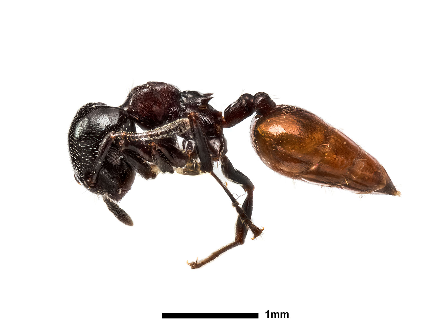 The acacia ant is displayed in the Natural History Museum exhibit as part of the Fantastic Beasts: The Wonder of Nature exhibit.