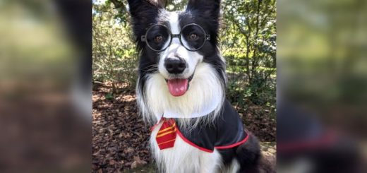 Amos in costume as Hairy Pawter, winner of the 2020 AKC Trick Dog Competition.