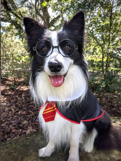 Amos in costume as Hairy Pawter, winner of the 2020 AKC Trick Dog Competition