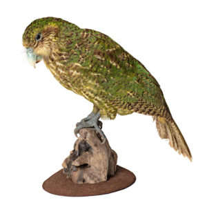 The Kākāpō, a flightless nocturnal parrot species native to New Zealand, is displayed in the Natural History Museum exhibit as part of the Fantastic Beasts: The Wonder of Nature exhibit.