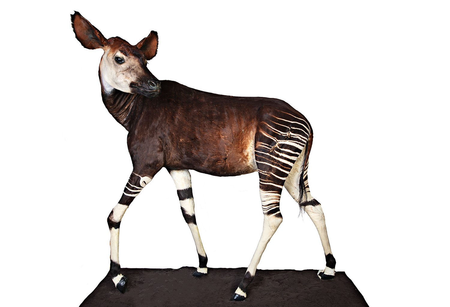 The Okapi is displayed in the Natural History Museum exhibit as part of the Fantastic Beasts: The Wonder of Nature exhibit.