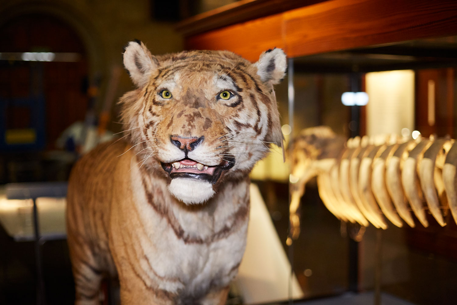 The tiger is displayed in the Natural History Museum exhibit as part of the Fantastic Beasts: The Wonder of Nature exhibit.