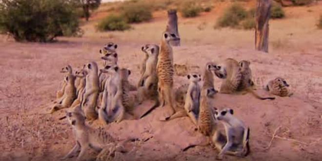 "A still of the meerkats taken from series two of ""Meerkat Manor"""