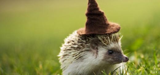 A hedgehog from the SOCO Hogwarts Breeding Program wearing a Sorting Hat.
